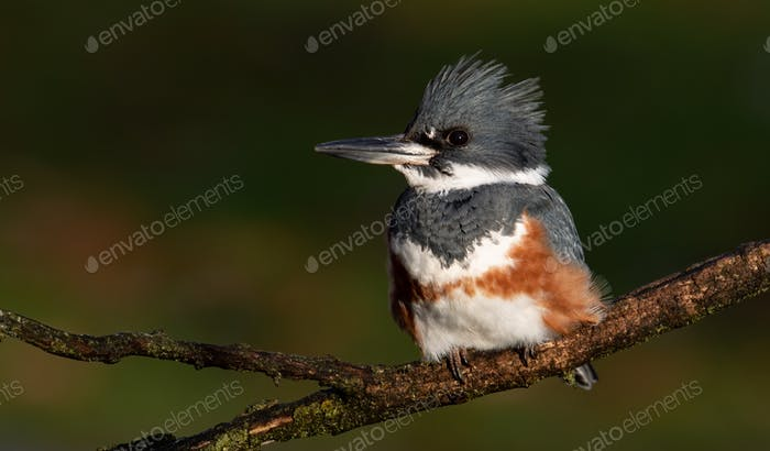 Belted Kingfisher Portrait