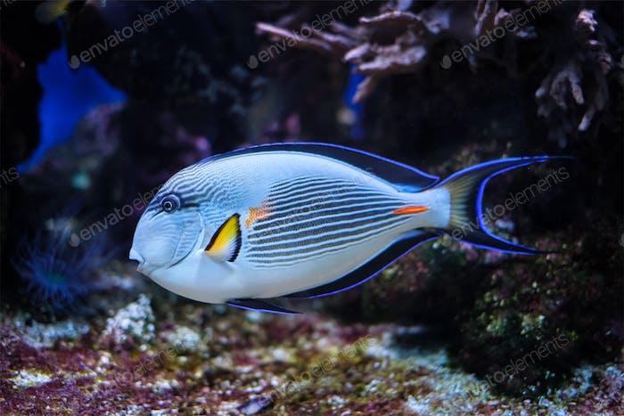Sohal Surgeonfish underwater