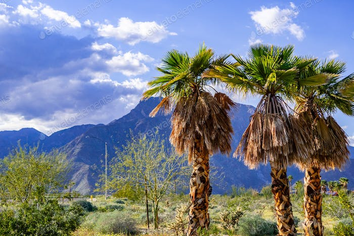 A group of palm trees in Borrego Springs, California