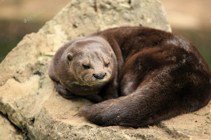 Otter - African Wildlife