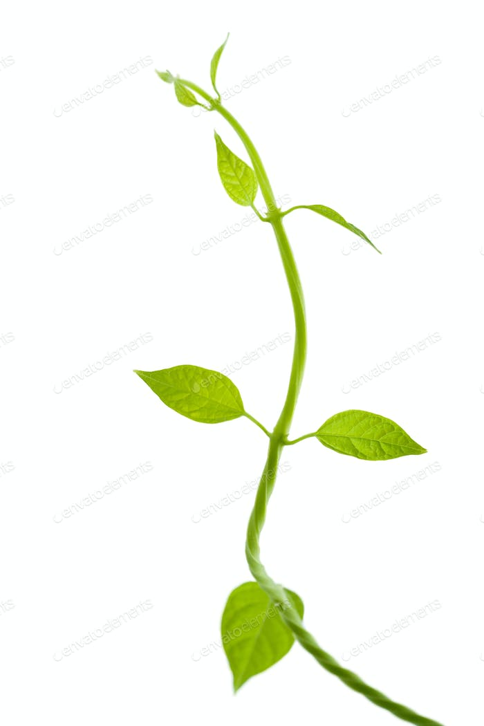 fresh leaves isolated