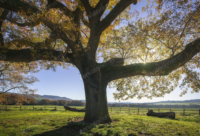 Secular oak tree in autumn. Tuscany, Italy.
