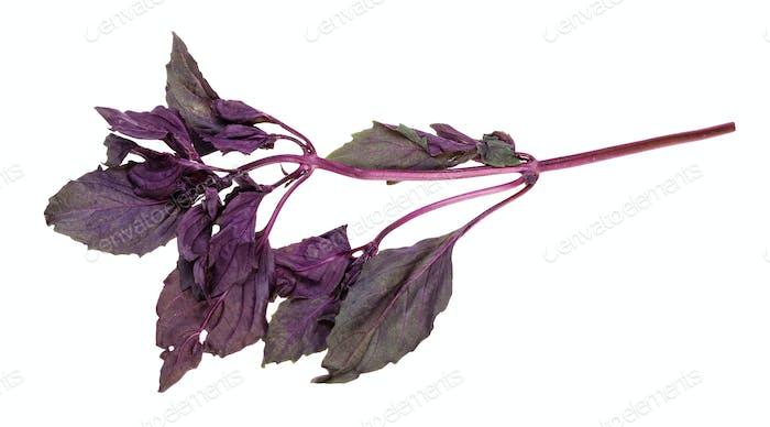 Zweig frischen dunkelvioletten Basilikum Kraut isoliert