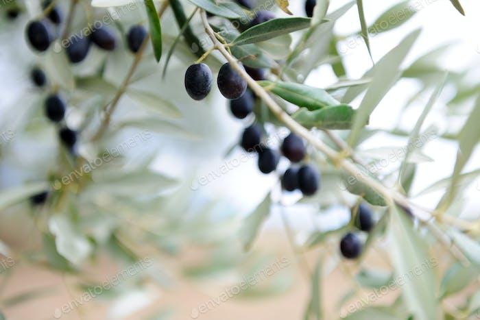 olive twigs