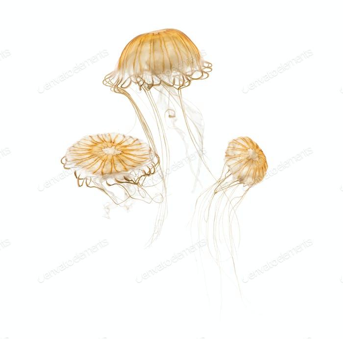 Japanese sea nettles, Chrysaora pacifica, Jellyfish against white background