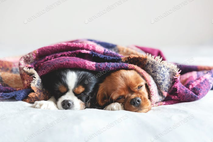 Two cavaliers sleeping under the colorful blanket