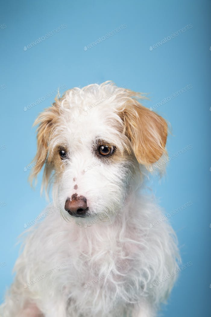 Beautiful mixed breed dog with sad face looking sideways on blue background
