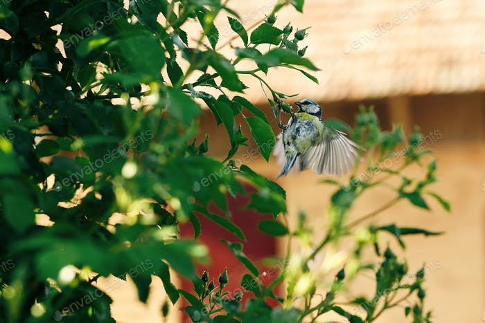 titmouse flying at green bush in summer country, spreading wings. space for text