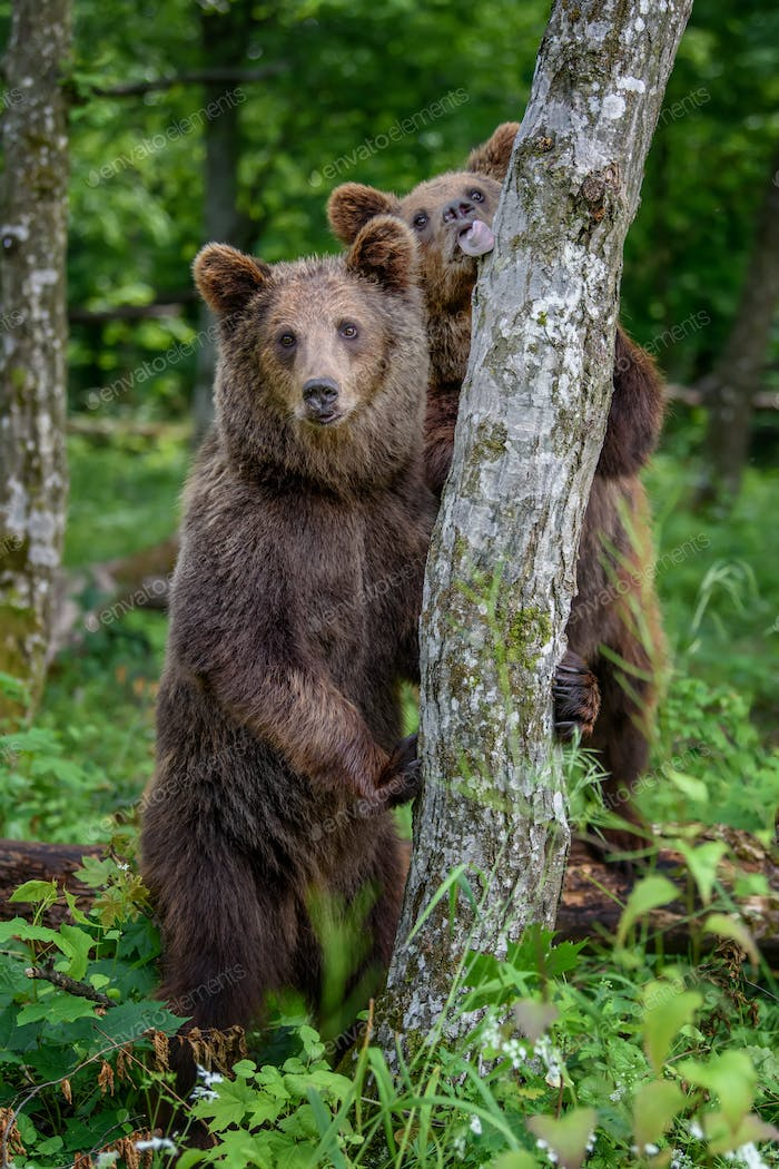 Wild Brown Bear leans against a tree in the summer forest. Animal in natural habitat. Wildlife scene