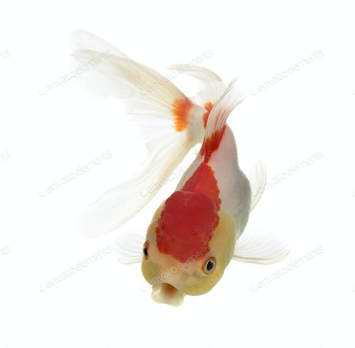 Top view of a lion's head goldfish isolated on white