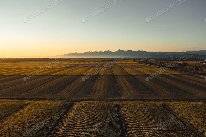 Sunflowers field at sunset