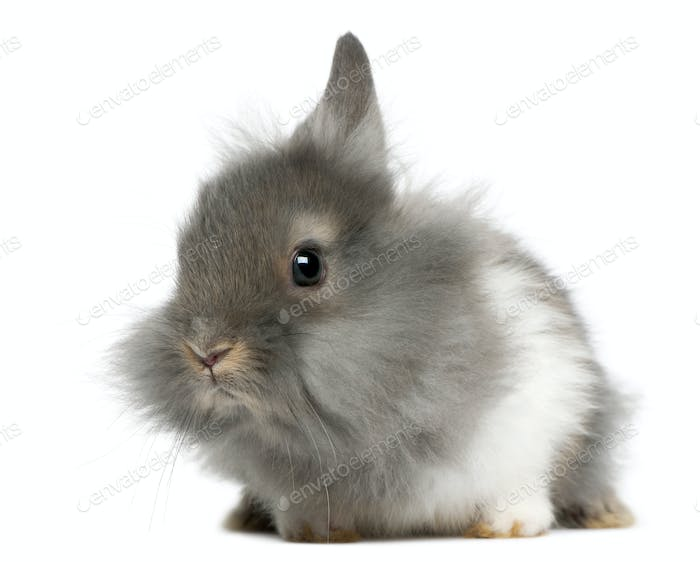 Young Lionhead rabbit, 2 months old, in front of white background