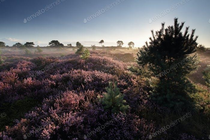 beautiful summer morning on heathland