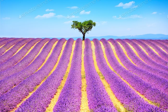 Lavender and lonely tree uphill. Provence, France