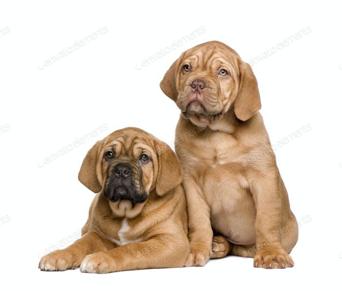 Two Dogue de Bordeaux puppies (2 months)