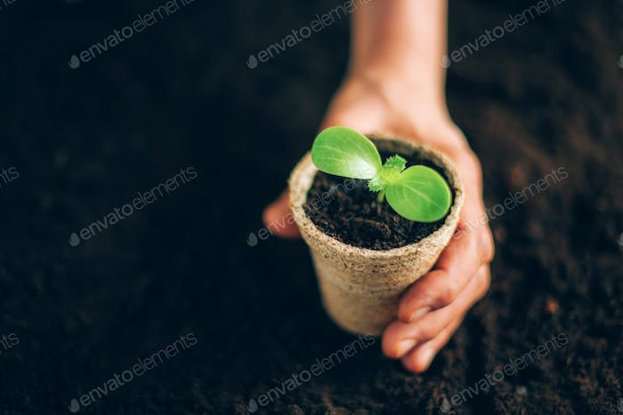 Agriculture, organic gardening, planting or ecology concept. Hand holding potted seedlings growing