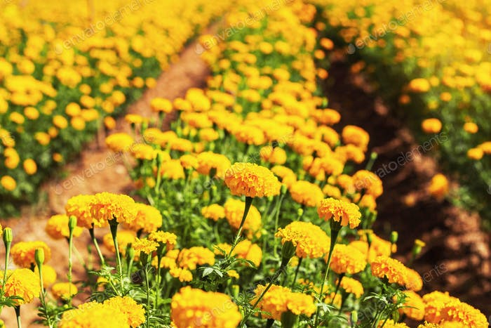 Marigolds planted in the garden