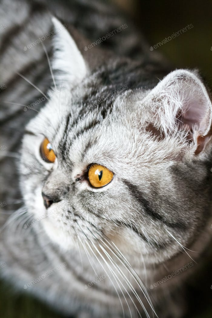 Scottish strite young cat