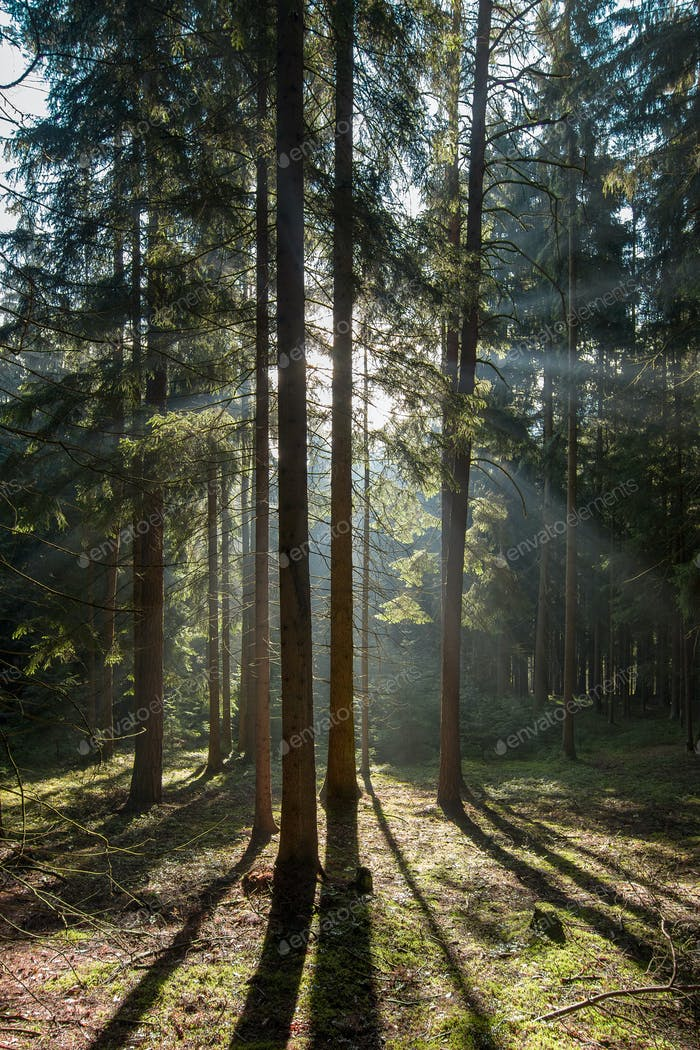 Early morning in coniferous forest
