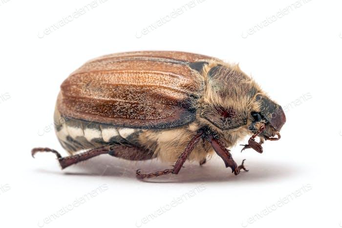 Cockchafer, or may bug