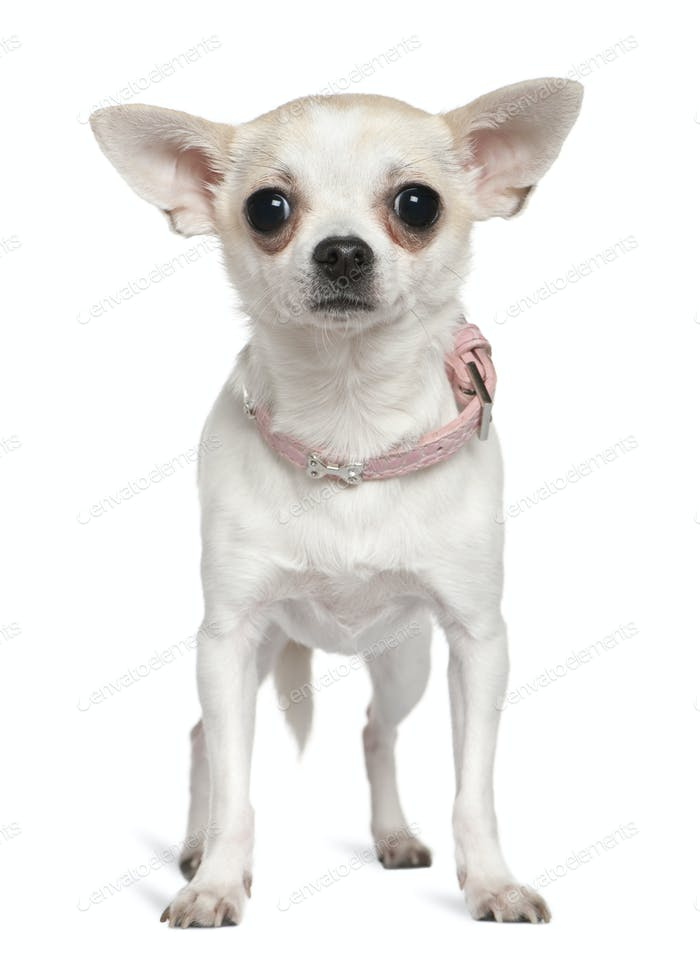 Chihuahua in pink collar, 1 and a half years old, standing in front of white background