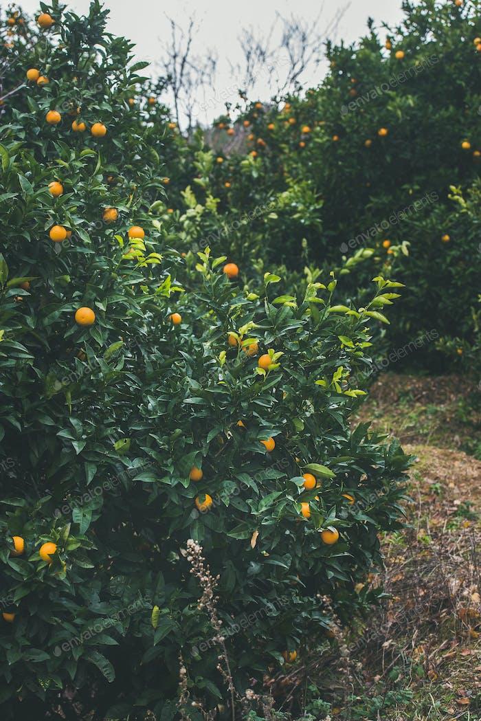 Orange trees with wild ripe oranges in mountain garden, Alanya