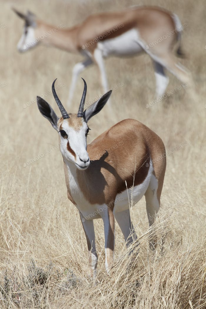 A Springbok, Antidorcas marsupialis, standing in grassland.