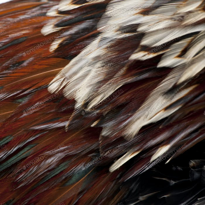 Close-up of Tollbunt tricolor Polish Rooster feathers, 6 months old