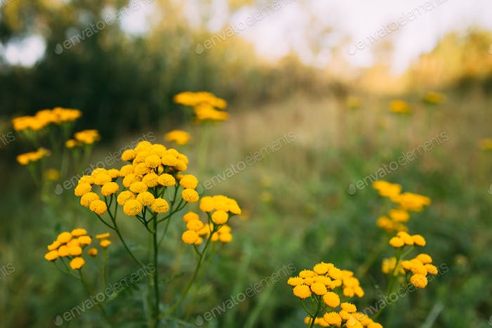 Tansy - Tanacetum Vulgare - Is A Perennial, Herbaceous Flowering