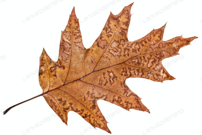 Fallen autumn leaf of oak, isolated on white background