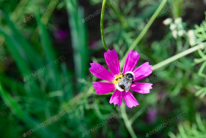 bee on a cosmos flower