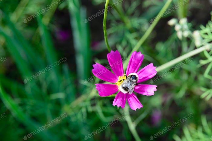 Biene auf einer Kosmosblume
