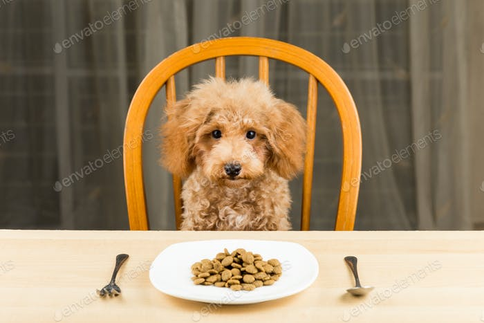 Bored and uninterested Poodle puppy with a plate of kibbles on the table