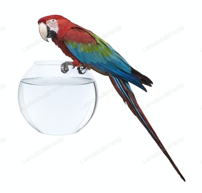 Red-and-green Macaw, Ara chloropterus, standing on fish bowl in front of white background