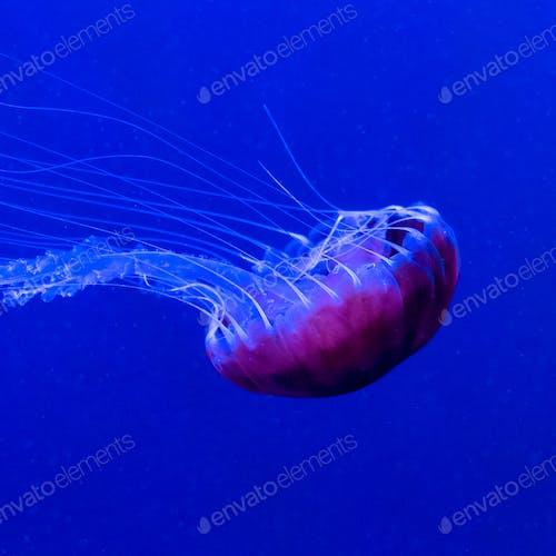 Big Jellyfish under water. Minimal art