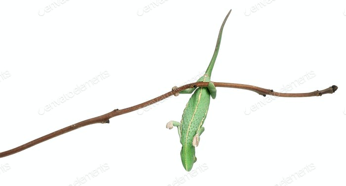 Young veiled chameleon, Chamaeleo calyptratus, hanging onto branch in front of white background