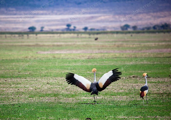 Grey Crowned Crane. The national bird of Uganda