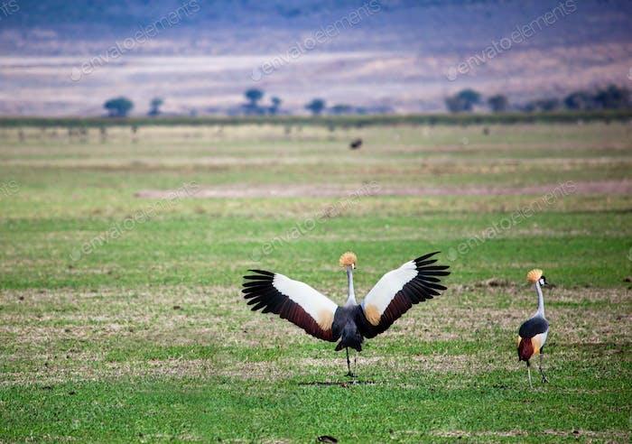 Grauer Kran gekrönt. Der Nationalvogel von Uganda