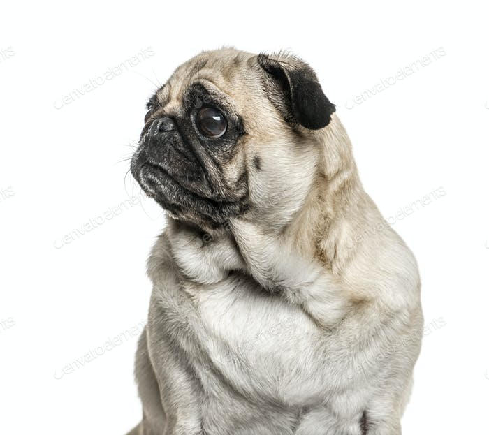 Close-up of a pug looking away, isolated on white