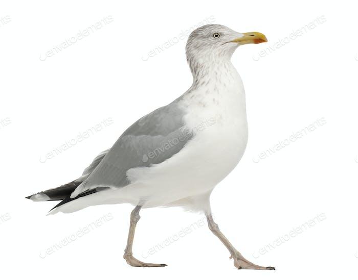 European Herring Gull, Larus argentatus, 4 years old, standing against white background