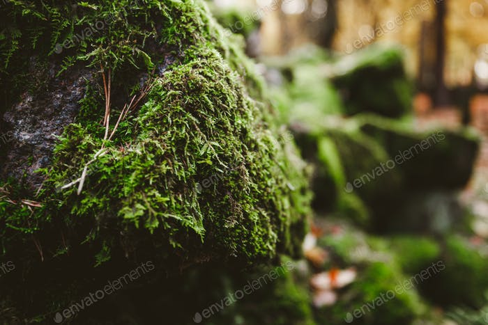 Macro photography of green moss on stones in a northern forest