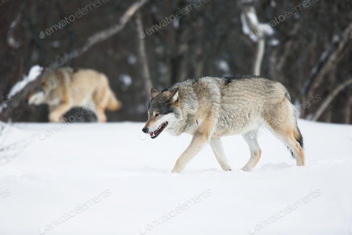 Два волка в снегу