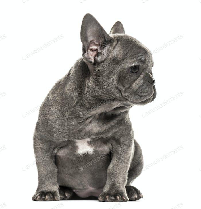 Grau Französisch Bulldogge Welpen sitzend, isoliert auf weiß