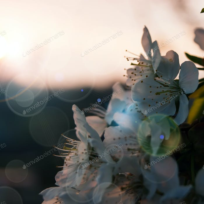 closeup of the pear blossom in spring on Sunset