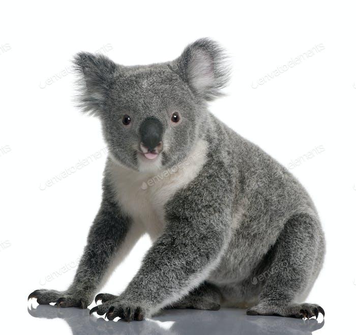 Junger Koala, Phascolarctos cinereus, 14 Monate alt, sitzt vor weißem Hintergrund