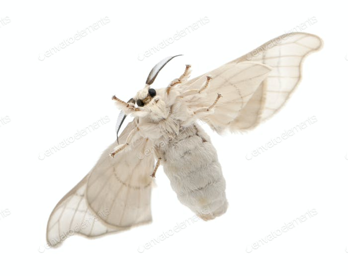 Domesticated Silkmoth, Bombyx mori, underside view against white background