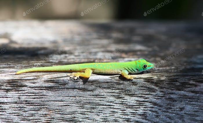 Grüner Gecko