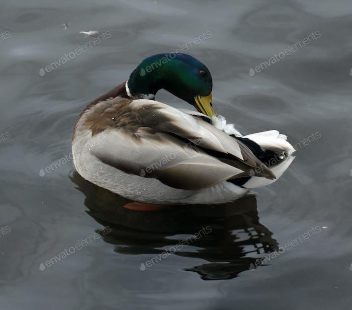 Male mallard duck prinking