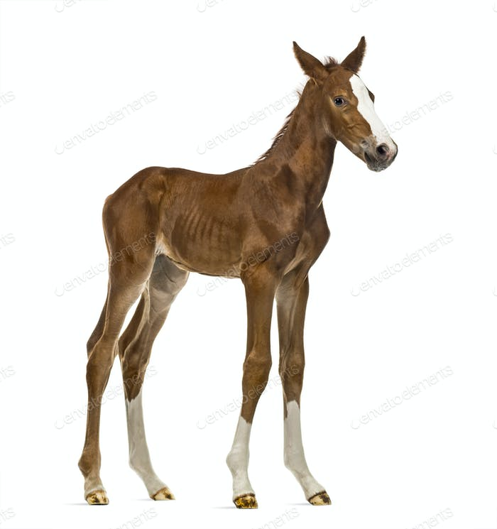 Foal looking at the camera isolated on white