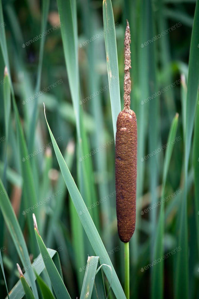 Common Cattail {Typha latifolia)